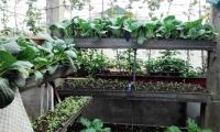 Gia đình ở Hà Nội không bao giờ phải mua rau chỉ với 30m2 sân thượng